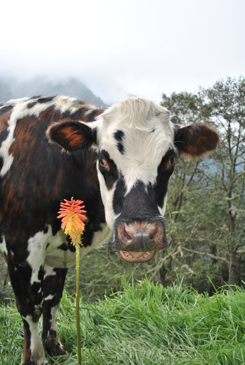 Milky cow, Salento, Colombia